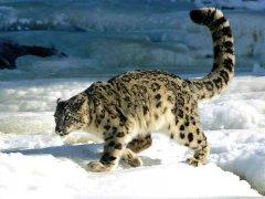 persian-leopard-1.jpg