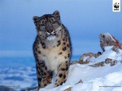 persian-leopard-3.jpg