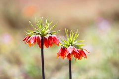 wild-tulip-gardens-6.jpg